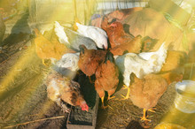 Many Chickens Eating Food In F...