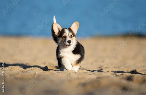 little welsh corgi puppy walking in the sand