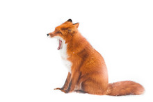 Fox Yawns With A Wide Mouth. B...