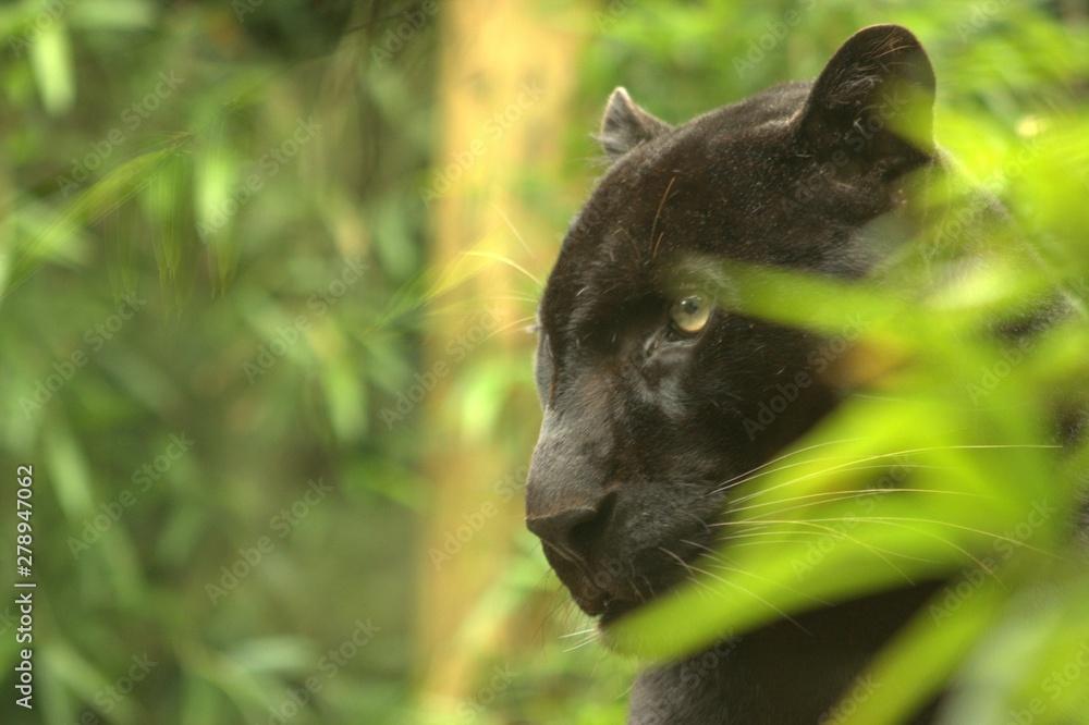 Fototapeta panther in tree