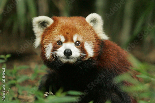 Deurstickers Panda red panda eating bamboo