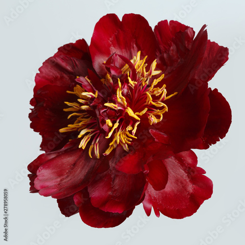 Dark red peony isolated on gray background. Fototapete