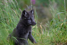Arctic Fox Cub, Vulpes Lagopus, Close Up Portrait While Sat On Grass During Summer In Its Summer Dark Coat.