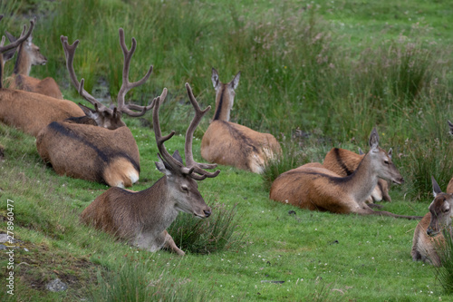 Red deer, Cervus elaphus, hinds and stags resting/laying on the grass moorland during July in summer in Scotland Fototapet