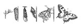 Metamorphosis of the Swallowtail - Papilio machaon - butterfly - 278963896