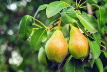 Ripe Pears On A Tree Branch Cl...