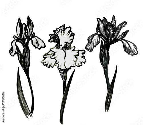 Fotografie, Obraz  Set of hand drawn black and white bold illustrations of iris flower, stems, buds and leaves isolated on white background