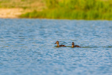 A Flock Of Wild Geese Swims Ar...