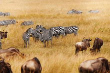 Groups Of Zebra And Wildebeests In The Field