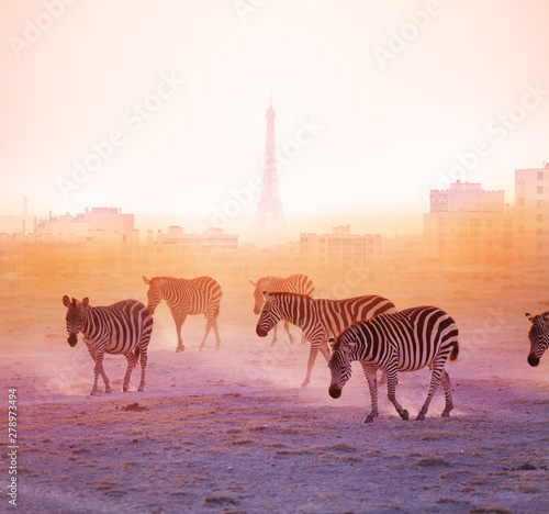 Poster Zebra Group of zebras walking with Paris on background