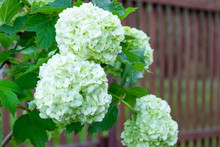 Blooming Viburnum In The Garden, Floral White Balls On A Bush Of Viburnum. Landscaping.
