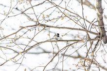 Small Black-capped Chickadee, Poecile Atricapillus, Tit Bird Perched On Tree Branch During Winter Snow Cold In Virginia, Gripping Shelling Sunflower Seed Between Legs Feet
