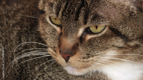 Tabby cat looking angry