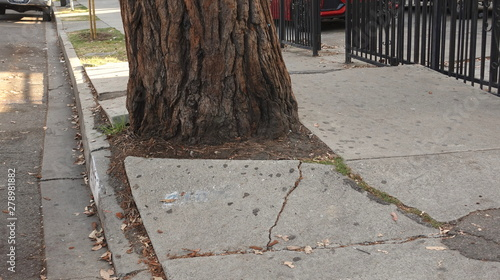 Fotografia Roots of a mature tree cracking and destroying the sidewalk