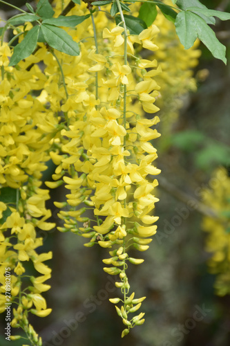 Weeping Yellow Flowers on a Pretty Tree