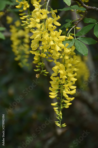 Beautiful Yellow Flowering Blossoms on a tree
