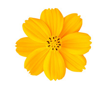 Beautiful Yellow Cosmos Flower Isolated On White Background With Clipping Path.