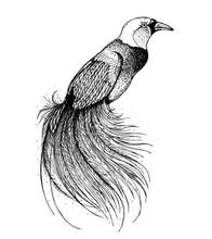 Bird Of Paradise Sketch, Vecto...