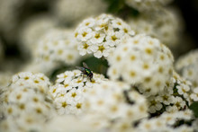 A Fly I The White Flowers