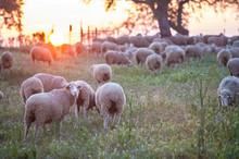 A Flock Of Merina Sheep Grazin...