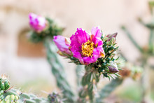 Cane Cholla Cactus With Vivid Pink Flower Closeup In Main Loop Trail In Bandelier National Monument In NM In Los Alamos