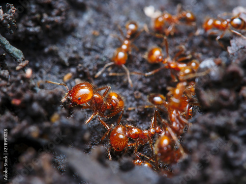 Obraz na plátně the fire ant colony is building a road to pass to the nest