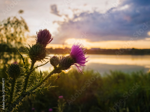 Photo Spear thistle purple flower over sunset sky background