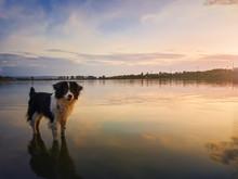 Portrait Of Border Collie Dog ...
