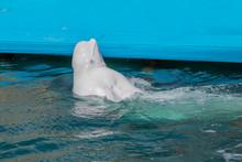 One Beluga Whale, White Whale ...