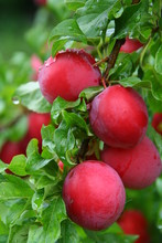 Bunch Of Ripe, Red, Sweet Plums O The Tree