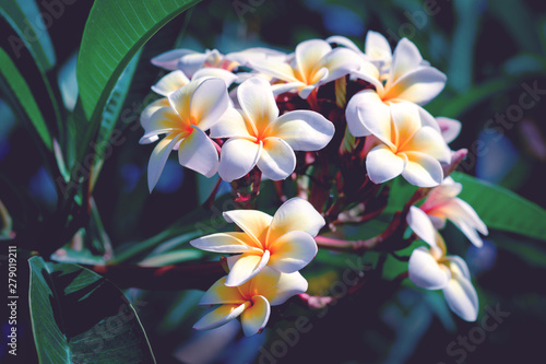 Canvas Prints Plumeria exotic plumeria rubra white flowers in natural background with copy space