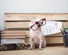 Chihuahua Dog Breed In Glasses...