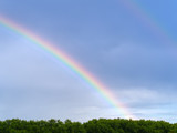 Fototapeta Rainbow - A beautiful bright rainbow forms over the forest canopy after an evening thundershower