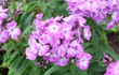 canvas print picture - Violet-pink phlox blooming on a bed in the summer in the park.
