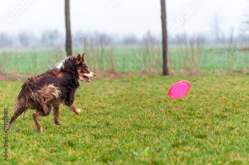 Fototapeta A border collie dog playing with a frisbee obraz na płótnie
