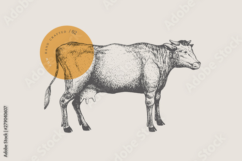 Fototapeta Graphic hand-drawn cow on a light background. Retro engraving with farm animal for menu restaurants, for packaging in markets and shops. Vector vintage illustrations. obraz