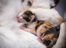 Red Black Newborn Kitten Suck His Mother