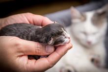 Tabby Newborn Kitten Sleeping In Woman Hands