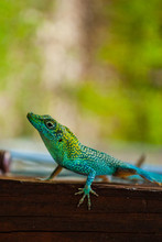 A Colorful Little Lizard Is Ex...