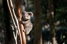 A Young Koala Up A Tree
