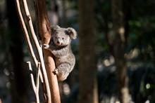 A Young Koala Up A Tree