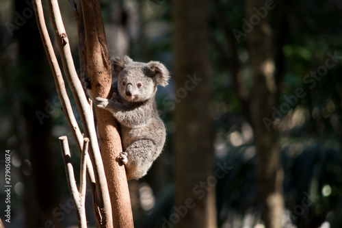 Foto auf Leinwand Koala a young koala up a tree