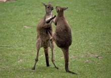 Two Western Grey Male Kangaroo...