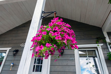 Petunia Ampelnaya In The Pots On The Porch Of A Country House, Flowers In The Interior Of The Building.