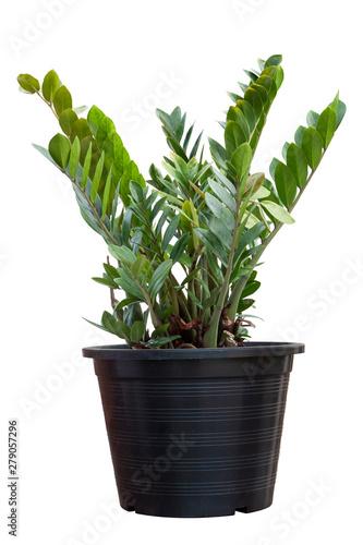 Montage in der Fensternische Sansibar Zanzibar gem, aroid palm or arum fern in black plastic pot isolated on white background.