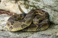 Yellow-phase Timber Rattlesnake - Crotalus Horridus