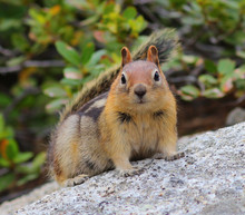Gold-Mantled Ground Squirrel Crouching On A Rock