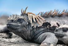 Galapagos Iguana Lying In The Sun On Rock. Marine Iguana Is An Endemic Species In Galapagos Islands Animals, Wildlife And Nature Of Ecuador. Funny, Funky Cool Looking Iguana.