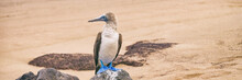 Blue-footed Booby - Iconic And...