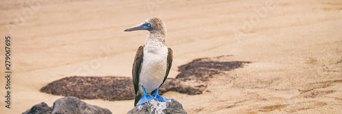 Fotoposter Eigen foto Blue-footed Booby - Iconic and famous galapagos animals and wildlife. Blue footed boobies are native to the Galapagos Islands, Ecuador, South America.